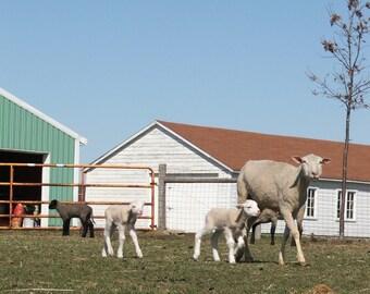 En vrac Polypay laine mèche pour filage--naturel--1 livre.