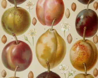 1897 Antique fine lithograph of PLUMS, different species. Fruits. Gages. Plum. Fruit. Kitchen Decor. 121 years old gorgeous print