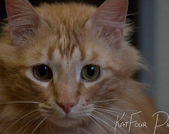 Photo Print, Red American Longhair Cat Photograph, Green Eyed Cat, Pet Photograph, Home Decor, Cat, Children's Room, Fine Art Print