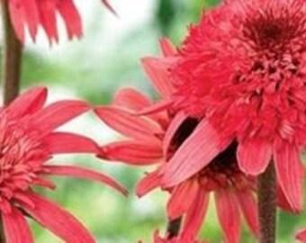 Raspberry Truffle Echinacea Coneflowers  100 seeds rare garden flowers