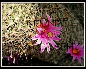 Independence Cactus Flower