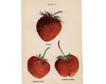 1905 STRAWBERRY LITHOGRAPH -  original antique miniature  fruit print - strawberries pl 9
