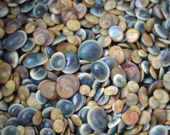 "Mini Operculum, Astralium Calcar, Mini Shiva Shells (3/16 - 3/8"") | 10 Pieces"