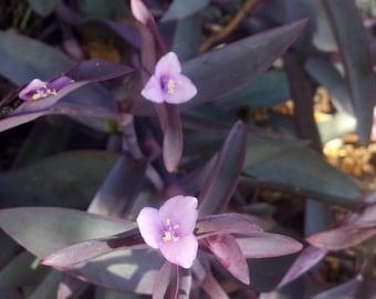 FIVE (5)Purple Queen/Purple Heart Tradescantia pallida cuttings Fairy Garden