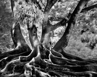 Banyon Tree, Infrared