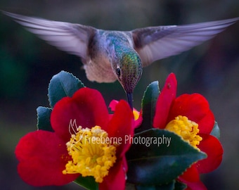 hummingbird photo card,  hummingbird card, hummingbird art, note card, greeting card, mothers day card, bird greeting card, hummingbird gift