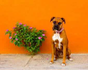 Betty The Boxer: Orange Wall in Mexico