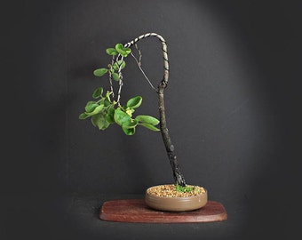 """Fuyu Persimmon bonsai tree, Fruits of Japan Collection from LiveBonsaiTree"""""""