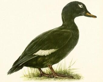 VINTAGE BIRD ILLUSTRATION Velvet Scoter Bird Print Lodge and Country Home Decor Vintage Animal Wall Art (ham30)