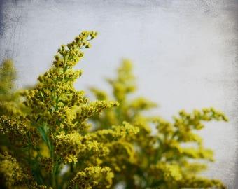 Yellow wall art, goldenrod flowers, gold gray mustard yellow, wildflowers nature botanical art 'Goldenrod One'