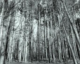 Tree Trunks Black and White Digital Photo