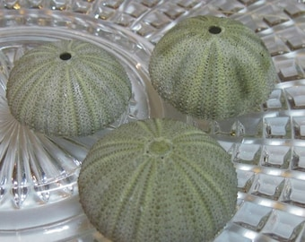 Green Sea Urchins - Unique Creatures to use in your jewelry making or crafting