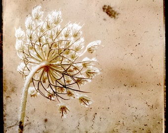 TTV Photography Pink Botanical Wildflower Queen Anne's Lace Vintage Style
