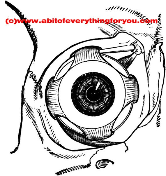 eye muscle human anatomy printable art print clipart png download digital image graphics digital stamp science artwork