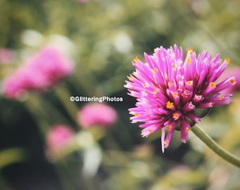 Blooming Flower, Pink Allium, Phipps Conservatory, Pittsburgh, PA, Fine Art Photography, Flower Photography, 8 x 10 Glossy, Nature Photo