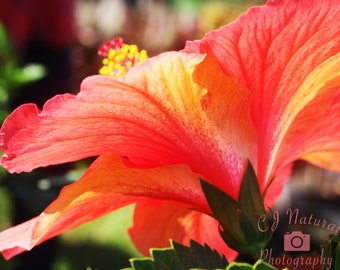 Botanical Print, Hibiscus Wall Art, Hibiscus Print, Tropical Flower, Tropical Decor, Pink Flower Photo, Orange Flower Photo, Tropical Art