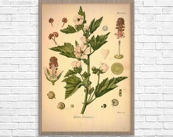 Marshmallow Botanical Art Print, Vintage Botanical Home Decor, Marshmallow Poster, Kitchen Poster, Kitchen Illustration 1887, Giclee Print