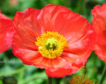 Red and Yellow Flowers; Iceland Poppy Flower; Red Iceland Poppy; Downloadable Flower Photography; Flower Art; Poppy Photography;