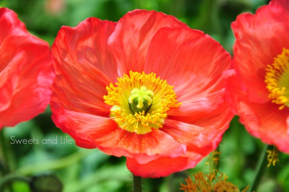 Red and yellow flowers iceland poppy flower red iceland red and yellow flowers iceland poppy flower red iceland poppy downloadable flower photography flower art poppy photography mightylinksfo