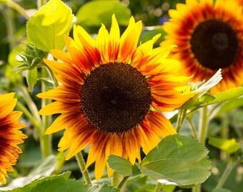 Autumn Beauty Sunflowers  25+ Seeds