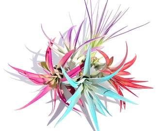 Air Plant Fun Pack Mix of 5 Plants