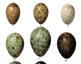 Bird Eggs - Scrub Jay, Black Billed Magpie, Northern Raven, Fish Crow, Green Jay -  Small Bird Eggs Print - 1978 Vintage Book Page - 8 x 5