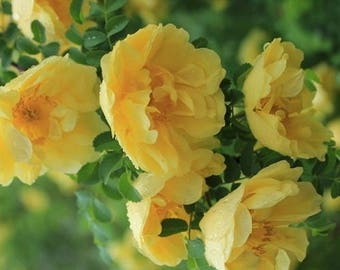 Yellow Rose Bush Seeds (Rosa xanthina) 15+ Seeds