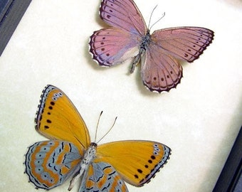 Framed Butterfly African Lavender Orange Museum Display 131p
