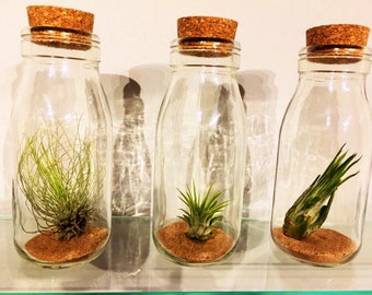 Tillandsia (Air Plant) in Set of 3 Corked Jar ~  Starter Pack