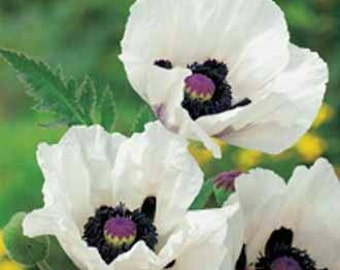 "Poppy ""Royal Wedding"" 50+ Seeds / Papaver orientale"