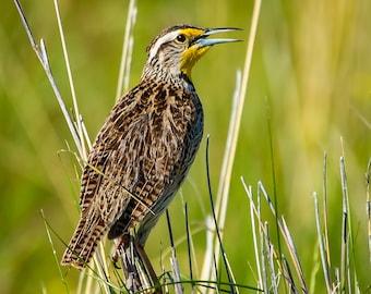 The Meadowlark.