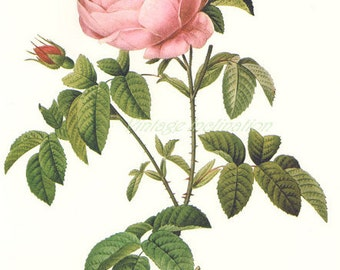 "rich FACIAL CREME ""roses"" (100 ml / 3.4 oz) for ripe skin"
