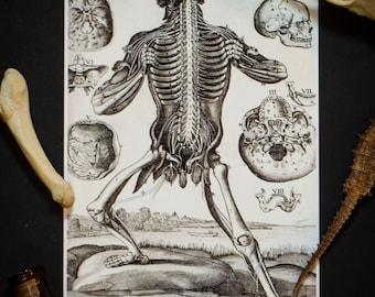 Ilustración de la anatomía humana: Vintage 5 X 7 impresión