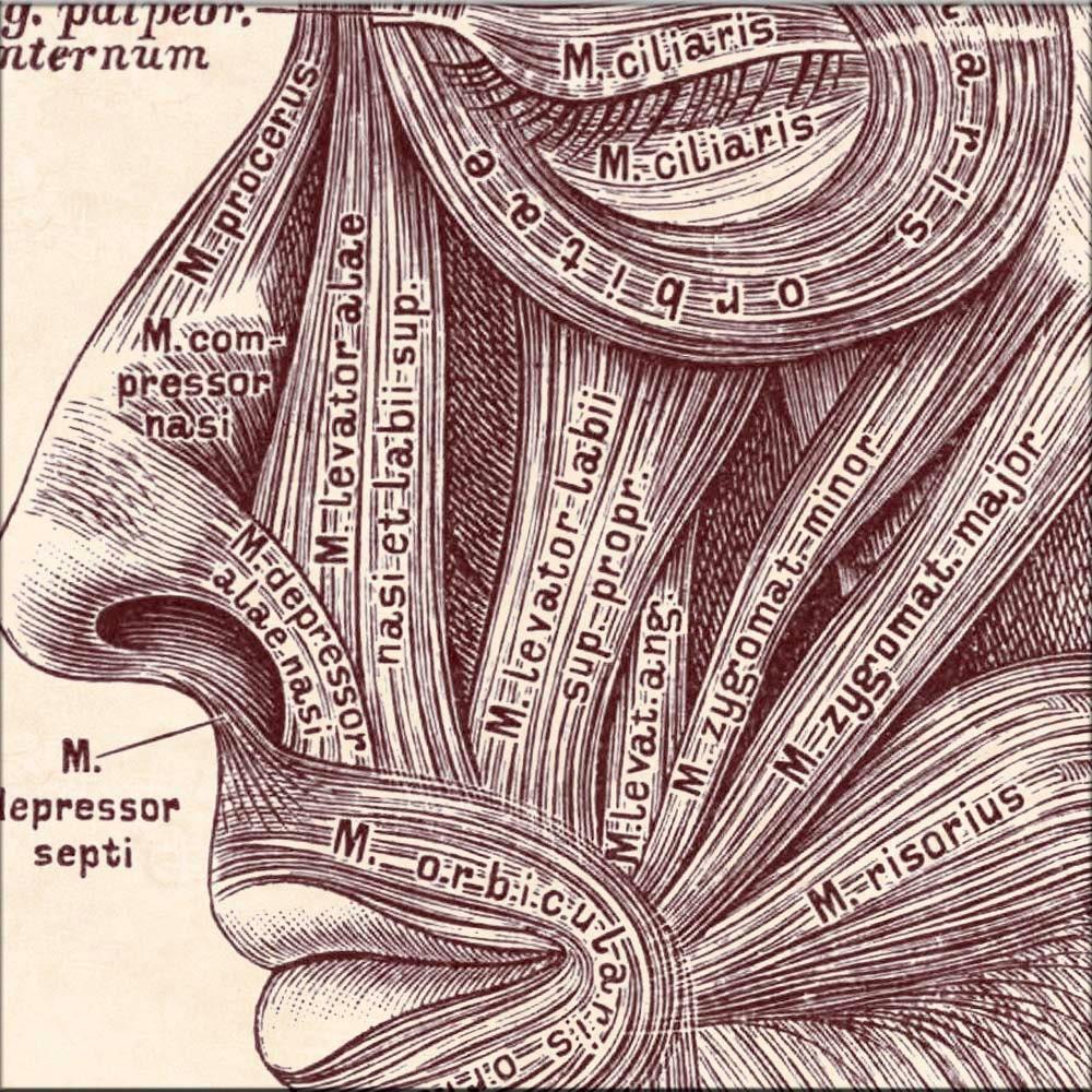 Anatomie-Kunst anatomische Grafik Kopf Gesichtsmuskeln