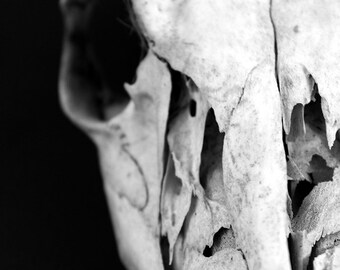 Deer Skull Skeleton Bones Photo Print