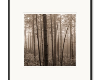 Del Norte Redwood Trees, New Growth, California, photography, black and white, sepia warm tone, framed photo by Adrian Davis, limited print