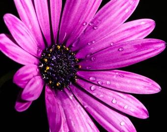Purple Daisy. flower photography floral nature photography 8x10 8x12 fine art photography spring flowers nursery decor bedroom.