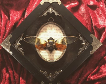 Cicada specimen in ornate shadowbox