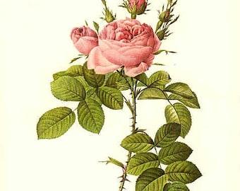 Redoute Botanical Rose Print  15