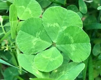 Wallet Wishes GENUINE 4 Leaf Clovers