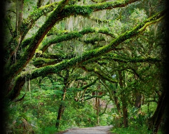 Forest Photography - Island Photography - Canopy Road Photo - Nature - Fine Art Photograph by Kelly Warren
