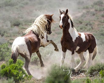 Wild Stallions of Sand Wash Basin Sparring on Gallery Wrapped Canvas, Tango and War Horse, wild horses, pinto wild mustang, wild stallion