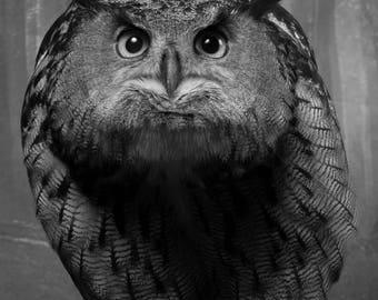 European eagle owl in black and white