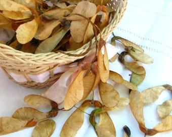 Maple seeds, dry maple spindles, home botanical decor, floral decor