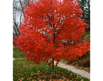 Autumn Blaze Maple, 2 Gallon Potted Plant, Scarlet Red Leaves, Tree of The Year, 5-6 Feet Tall, Healthy, Strong Roots, Beautiful Fall Color