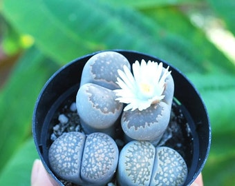 Lithops spp. 2.5 inch pot