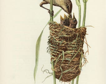 Vintage lithograph of the great reed warbler from 1953