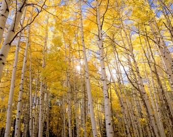 Aspen trees fall decor, autumn trees photo, Colorado apsen wall art, fall decor, aspen tree fall photo, rustic decor | A Perfect Day Begins