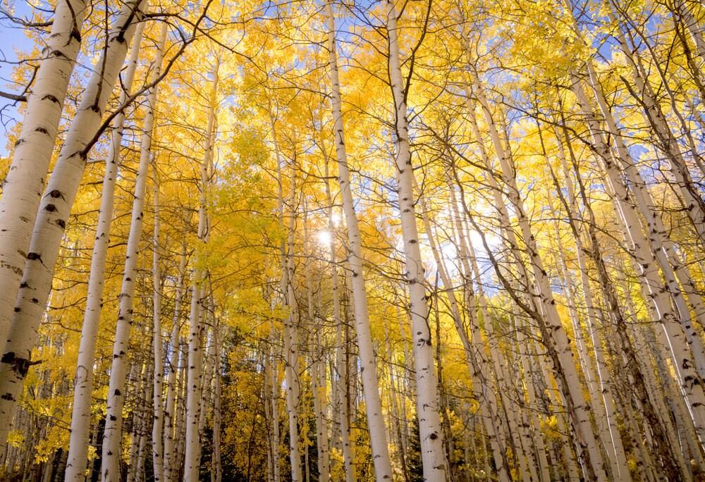 Aspen trees fall decor autumn trees photo Colorado apsen