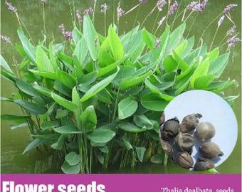 WBML 10+++ Thalia dealbata seeds,indoor water plants ,Aquatic perennial herbaceous plants, flowe seeds,easy plant